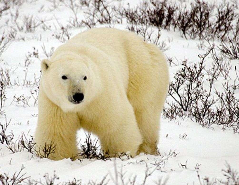 Churchill Polar Bear Safari | Calgary Adventure Travel & Luxury Tours